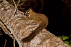 Lemur contrassegnato della forcella pallida Immagini Stock Libere da Diritti