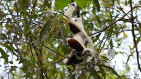 Lemur Coquerel`s sifaka Propithecus coquereli stock footage
