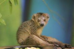 Lemur coroado fotos de stock royalty free