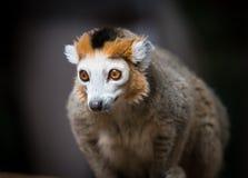 Lemur coronado Foto de archivo libre de regalías