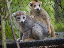 Lemur coronado fotografía de archivo