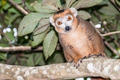 Lemur coronado imagen de archivo libre de regalías