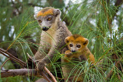 Lemur Coronatus du Madagascar Photo stock