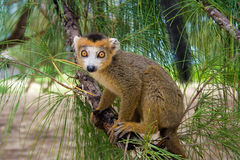 Lemur Coronatus du Madagascar Photos libres de droits