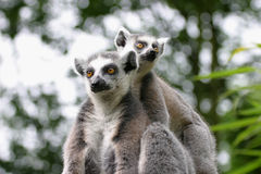 Lemur couple. A lemur couple sitting in a tree and looking in different directions stock images