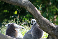 Lemur couple Stock Image
