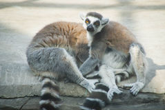Lemur couple sitting on big white stone Royalty Free Stock Photos