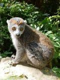 Lemur couronné Images libres de droits