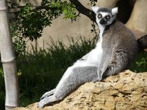 Lemur d'objection Image libre de droits