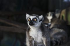 A lemur is in a daze. Maybe it`s looking at its partner royalty free stock images