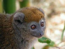 Lemur de bambú Fotografía de archivo libre de regalías