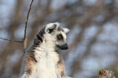lemur de catta Photographie stock libre de droits