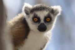 Lemur de la cola del anillo Foto de archivo