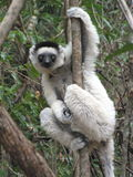 Lemur de Madacascar Fotos de archivo