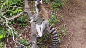 Lemur de Madagascar almacen de video