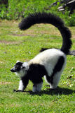 Lemur de Madagascar Foto de archivo