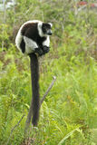 Lemur de Madagascar Fotos de archivo