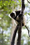 Lemur de Madagascar Imagen de archivo