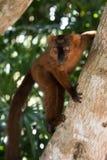 Lemur de Madagascar Foto de Stock