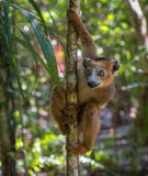 Lemur de Madagascar Fotos de Stock Royalty Free
