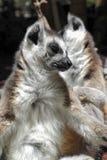 Lemur de Prosimian Photos stock