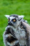 Lemur de regarder Photos stock