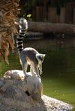 Lemur de Ringtail Photos libres de droits