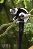 Lemur de Ruffed Imagem de Stock