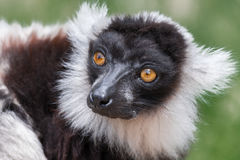 Lemur de Ruffed Foto de Stock Royalty Free
