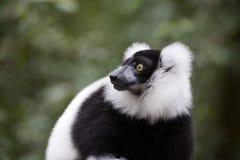 Lemur del Madagascar Immagini Stock