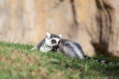 Lemur del Madagascar Fotografia Stock Libera da Diritti