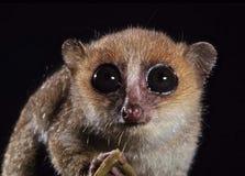 Lemur del mouse immagini stock