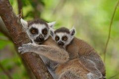 Lemur del Ringtail fotografia stock