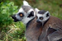 Lemur della madre Fotografia Stock