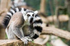 Lemur dentro de Biopark de Roma Imagen de archivo