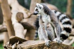 Lemur dentro de Biopark de Roma Fotos de archivo libres de regalías