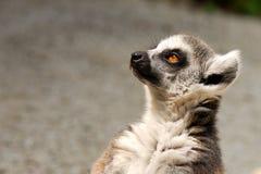 Lemur in der Gefangenschaft stockbilder