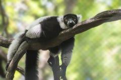 Lemur di Ruffed Immagini Stock Libere da Diritti