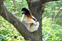 Lemur di Sifaka che guarda indietro intorno a suo Immagine Stock