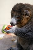 Lemur Eating. An Alaotran Gentle Lemur eating a tomato Stock Images