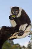 Lemur eating. Black and White Ruffed Lemur eating, Madagascar Royalty Free Stock Photography