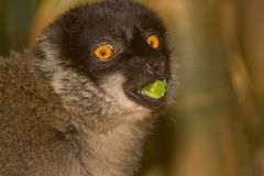 Lemur eating. Wild Common Brown Lemur eating, Madagascar Stock Photography