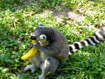 A Lemur eating a banana Royalty Free Stock Photos