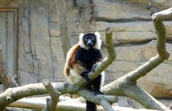 A Lemur sitting on a tree Stock Images