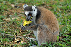 Lemur eating banana in Madagascar, Africa Stock Photography