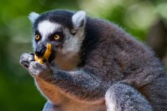 Lemur Eating Fruit. Close up of a ring tail Lemur eating fruit with both hands Stock Image