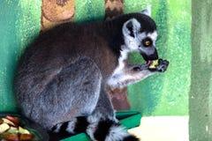 Lemur eating fruit. In zoo Royalty Free Stock Image