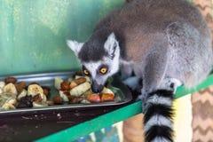 Lemur eating fruit. In zoo Stock Photo