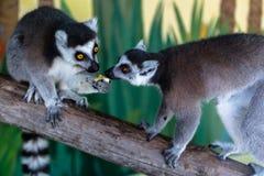 Lemur eating fruit. In zoo Royalty Free Stock Photo