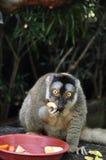 Lemur eating fruits. Lemur enjoying its fruits during feeding time Stock Image